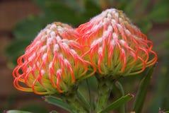 Flor del Protea en la floración Fotografía de archivo