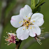 Flor del Prunus Fotos de archivo libres de regalías