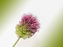 Flor del puerro Fotografía de archivo