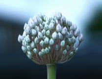 Flor del puerro Imágenes de archivo libres de regalías