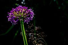 Flor del puerro Fotografía de archivo libre de regalías