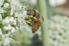Flor del puerro de Honey Bee Dangling From s Imagen de archivo libre de regalías