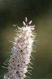 Flor del puerro salvaje Imagen de archivo libre de regalías