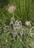 Flor del Pulsatilla imagenes de archivo