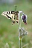 Flor del Pulsatilla con la mariposa foto de archivo