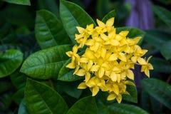 Flor del punto o coccinea amarilla de Ixora fotos de archivo