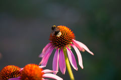 Flor del purpurea del Echinacea o del coneflower del erizo Fotos de archivo libres de regalías