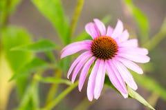 Flor del purpurea del Echinacea o del coneflower del erizo Imagen de archivo libre de regalías