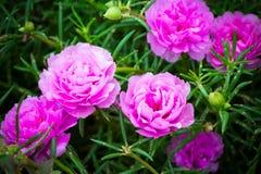 Flor del purslane común Imagen de archivo libre de regalías