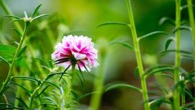 Flor del Purslane común. Imagen de archivo libre de regalías