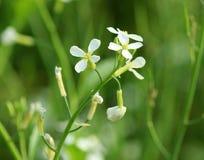 Flor del rábano Imagen de archivo libre de regalías