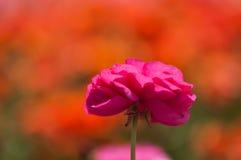 flor del ranúnculo Imagen de archivo libre de regalías