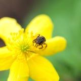 Flor del ranúnculo con la abeja Fotos de archivo libres de regalías