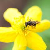 Flor del ranúnculo con la abeja de la miel Fotografía de archivo libre de regalías