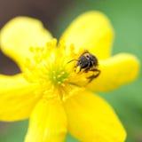 Flor del ranúnculo con la abeja de la miel Foto de archivo