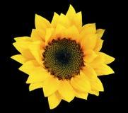 Flor del recorte - girasol amarillo aislado en fondo negro Fotos de archivo