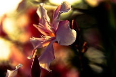 Flor del redbud chino Imagen de archivo libre de regalías