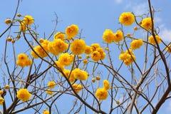 Flor del regium de Cochlospermum en el cielo azul Imagen de archivo libre de regalías