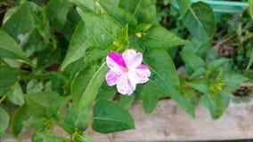 Flor del reloj del ` de cuatro O, jalapa del mirabilis o maravilla de Perú fotos de archivo