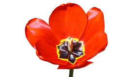 Flor del resorte. Foto de archivo