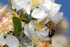 Flor del resorte con la abeja Foto de archivo