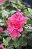 Flor del resorte rojo Foto de archivo