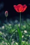 Flor del resorte Tulipán rojo hermoso que florece en la primavera fotografía de archivo libre de regalías