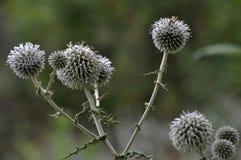 Flor del ritro del Echinops de las cabezas Fotos de archivo libres de regalías
