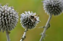 Flor del ritro del Echinops de las cabezas Fotografía de archivo libre de regalías