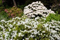 Flor del rododendro Fotos de archivo libres de regalías