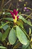 Flor del rododendro Imagen de archivo