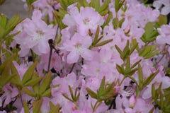 Flor del rododendro Imagenes de archivo