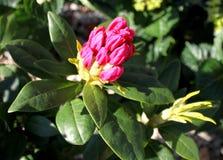 Flor del rododendro en el brote del rosa del arbusto Foto de archivo libre de regalías