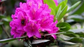 Flor del rododendro y abeja hermosas del abejorro almacen de video