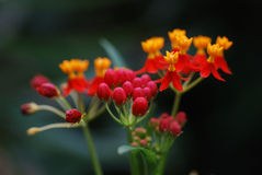 Flor del rojo anaranjado de la selva tropical Fotografía de archivo