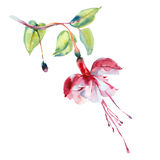 Flor del rojo de la acuarela Imagen de archivo libre de regalías