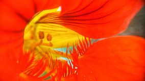 Flor del rojo de la saturación fotografía de archivo libre de regalías
