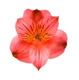 Flor del rojo del Alstroemeria Fotos de archivo