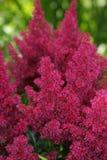Flor del rojo del Astilbe. Fotografía de archivo