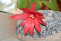 Flor del rojo del cactus Imagenes de archivo