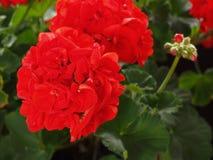 Flor del rojo del geranio Foto de archivo