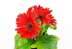 Flor del rojo del Gerbera Foto de archivo
