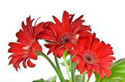 Flor del rojo del Gerbera Fotos de archivo
