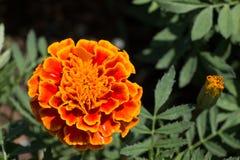 Flor del rojo y del zinnia en el jardín Fotografía de archivo