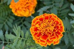 Flor del rojo y del zinnia en el jardín Fotografía de archivo libre de regalías