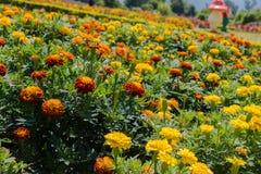 Flor del rojo y del zinnia en el jardín Imagen de archivo