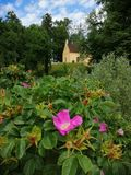 Flor del rosa de la República Checa en jardín del castillo fotos de archivo