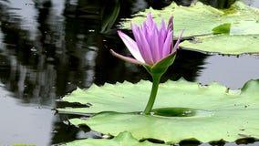 Flor del rosa de Lotus almacen de metraje de vídeo