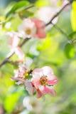 Flor del rosa de Sakura Fotos de archivo
