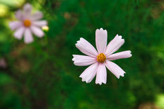 Flor del rosa del aster o cosmos mexicana del jardín, primer al aire libre Imagenes de archivo